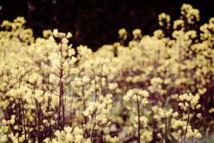 おぼろげな花