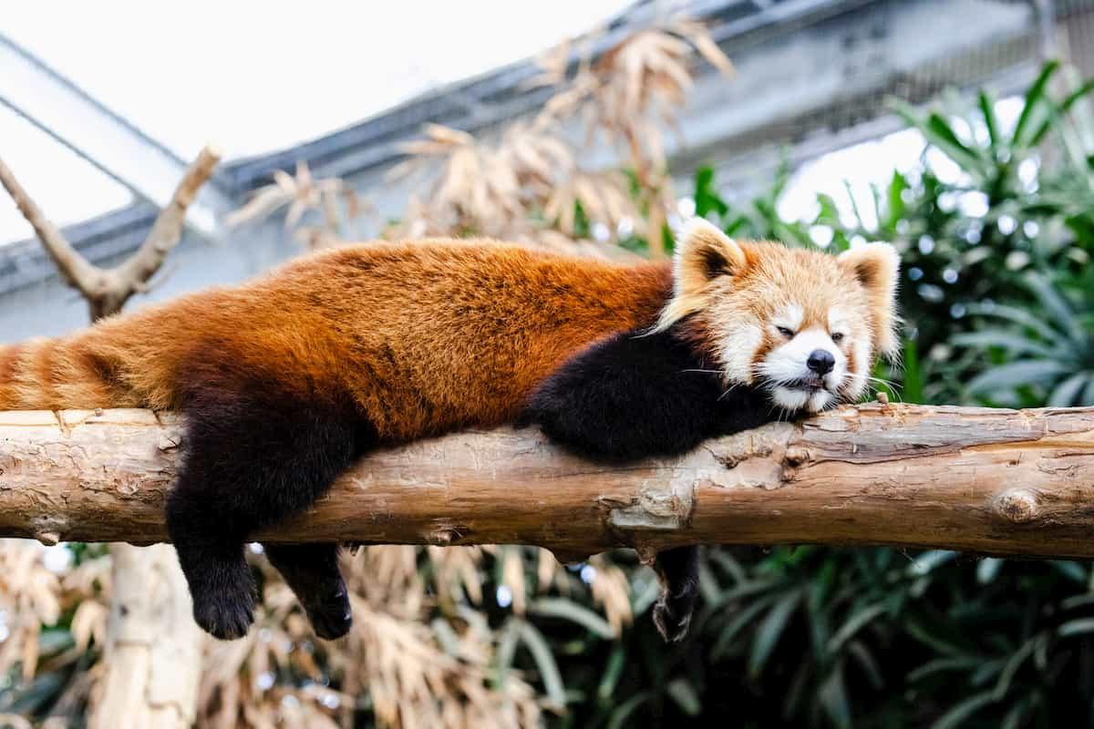 疲れているレッサーパンダ